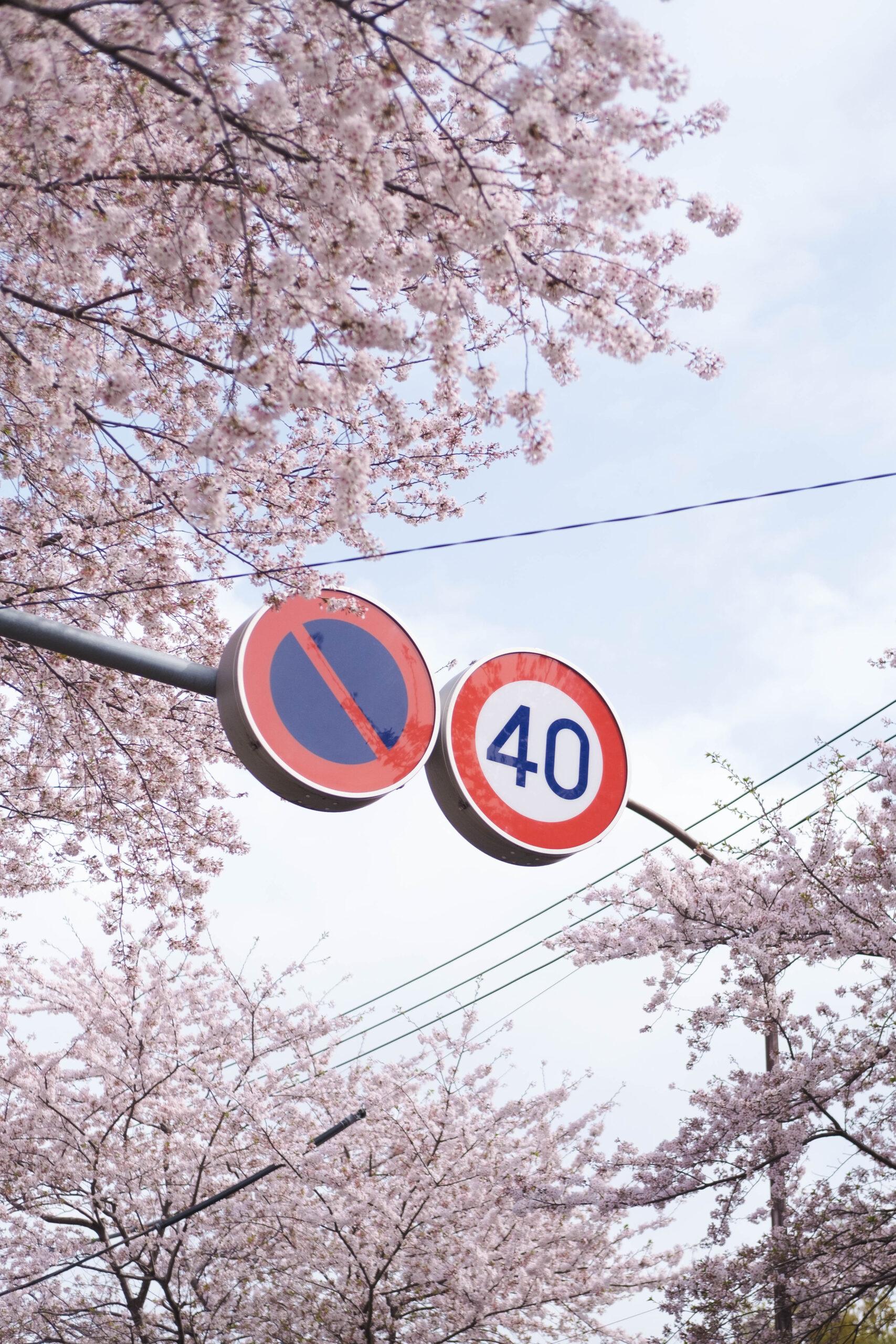 桜撮ってたらアスファルトにカメラを落とした